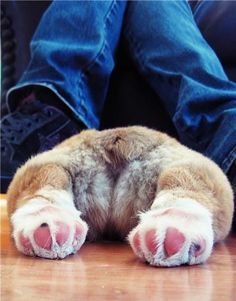 Does your dog sploot? Does your dog sploot? Corgi Funny, Corgi Dog, Pet Dogs, Dog Cat, Wiener Dogs, Cute Puppies, Dogs And Puppies, Funny Animals, Cute Animals