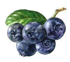 Grapes illustration by Rosie Sanders