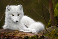 white_wolf Serious Facts You Must Know about the White Snow Wolf Wolf Images, Wolf Pictures, Animal Pictures, Images Photos, Unique Animals, Animals Beautiful, Cute Animals, Artic Animals, Wild Animals