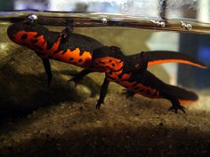 Fire Belly Newt | Equipment for keeping a Fire Bellied Newt