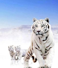 White tiger and cubs--big cats count too! Nature Animals, Animals And Pets, Baby Animals, Cute Animals, Wild Animals, Beautiful Cats, Animals Beautiful, Big Cats, Cats And Kittens