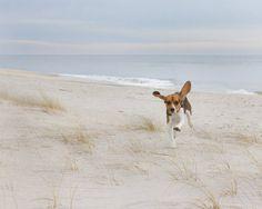 Airborne Beagle - hound, dog, beagle, beach, animal, canine, happy Fine Art Photographic Print