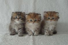 Persian Kittens | Ca