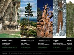 The oldest and biggest trees in the world. -Shared from:  I fucking love science