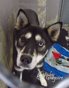 A4834507 I am a friendly 1 yr old female gray/white Siberian Husky mix. I came to the shelter as a stray on May 26. available 5/30/15 Baldwin Park shelter https://www.facebook.com/photo.php?fbid=974654742546363&set=a.705235432821630&type=3&theater