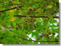 The Neem Plant and its uses.