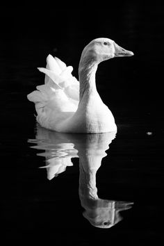 Artistic Photography, Animal Photography, Nature Photography, Black And White Aesthetic, Black N White, The Wild Geese, Cute Little Drawings, Charcoal Art, Different Flowers
