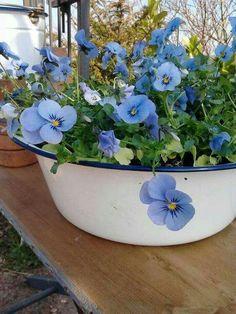 Beautiful Pansies ❁✦⊱❊⊰✦❁ ڿڰۣ❁ ℓα-ℓα-ℓα вσηηє νιє ♡༺✿༻♡·✳︎·❀‿ ❀♥❃ ~*~ TH Jun 2016 ✨вℓυє мσση ✤ॐ ✧⚜✧ ❦♥⭐♢∘❃♦♡❊ ~*~ нανє α ηι¢є ∂αу ❊ღ༺✿༻♡♥♫~*~ ♪ ♥✫❁✦⊱❊⊰✦❁ ஜℓvஜ Blue Garden, Dream Garden, Garden Pots, Container Plants, Container Gardening, Blue Flowers, Beautiful Flowers, Beautiful Mind, Exotic Flowers