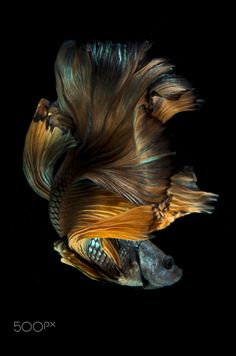 ˚Siamese Fighting Fish