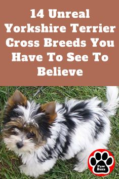 If you love Yorkshire Terriers as much as we do then you& sure to love these 14 gorgeous Yorkshire Terrier mixes. Source by waggingtonpost The post 14 Unreal Yorkshire Terrier Cross Breeds You Have To See To Believe appeared first on Avery Dogs. Morkie Puppies, Havanese Dogs, Teacup Puppies, Yorkie Puppy, Yorkies, Teacup Yorkie, Yorkie Poodle, Tiny Puppies, Chihuahua Dogs