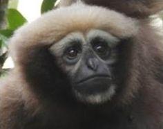 Female Hoolock tianxing. Fan et al. (2016). Sciency Thoughts: Hoolock tianxing: A new species of Hoolock Gibbon from China and Myanmar.