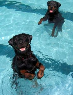 I want two rottweilers when I grow up and yes they will swim just like me and be named Bobo and Mildred :)