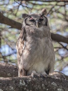 Verreaux's Eagle-Owl - A massive bird on its usual (afternoon) day roost. Lk. Baringo, Kenya.