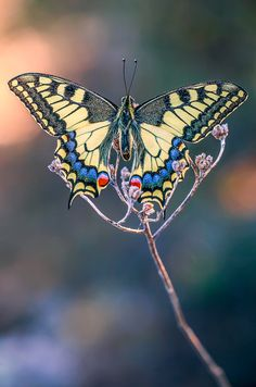 ♀ Bokeh photography Butterfly Papilio machaon by ~buleria