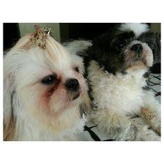 フレッシュな二人\(^o^)/#fresh after #shower Pepper Luna #shihtzu #dog #family #holyweek#holidays#goodfriday#philippines#犬#フィリピン#シーズー