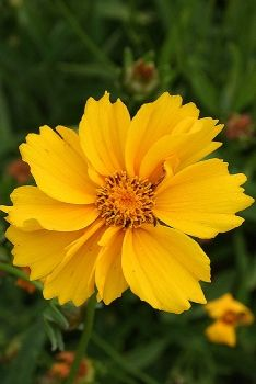 Lanceleaf Coreopsis   Coreopsis lanceolataColour :YellowBlooms :June to Aug.Light :Full sun to Part shade Height :1' - 2'Soil :Sand to ClayWater :Dry to Medium