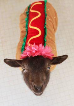 Une chèvre, dans un costume hot dog. Tout simplement. ❤️