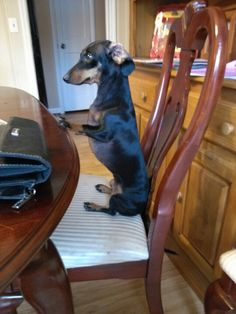 """This is my own crazy Doxie Rigsby!! If she could talk, I think she would definitely say,  """"Please Sir, May I have sum more??!!!!!"""""""
