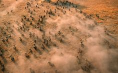 An aerial view of a buffalo herd in the Okavango Delta, Botswana  Picture: Martin Harvey / Barcroft Media
