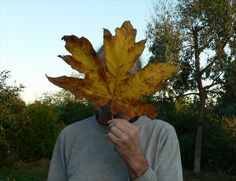 GC4XM25 Big Leaf Maple - HAG X (Traditional Cache) in British Columbia, Canada created by Willow Wand and BluHeron17