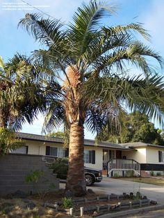 Mule Palm (X Butiagrus nabonnandii) ....pindo x queen hybrid (Butia capitata x Syagrus romanzoffiana)