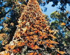 Mariposas Monarcas - Every winter the monarch butterflies migrate from the North of USA up to 4,000 km to central Mexico. It is estimated that between 60 million and 1 billion butterflies arrive at the border of Michoacán and Mexico State every year!