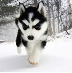The Best Puppies - Dog Pics - Puppy Photos - Best Dog Funny Pictures Husky Puppy, Pet Puppy, Pomeranian Puppy, Teacup Chihuahua, Teacup Puppies, Puppy Care, Dog Cat, Cute Little Animals, Cute Funny Animals