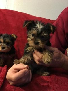 Yorkie Puppies For Adoption, Morkie Puppies For Sale, Cute Teacup Puppies, Teacup Yorkie, Yorkie Puppy, New Puppy, Mini Poodles For Sale, Mini Poodle Puppy, Pet Dogs