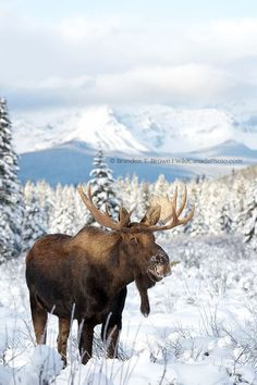 From Banff National Park this Winter.. What a couple days with this Bull Moose.