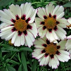 Coreopsis Star Cluster   Coreopsis   Colorful Blooms on Easy to Grow Plants