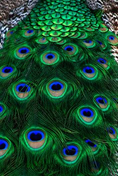 Birds ©: Peacock Plumes [At Waccatee Zoo, South Carolina; by Shawn Jennings] Peacock Colors, Peacock Art, Peacock Feathers, Peacock Pics, Green Peacock, White Peacock, Peacock Pattern, Pretty Birds, Beautiful Birds