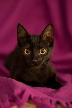 Black cat  Saphia