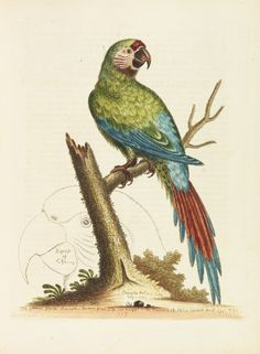 GEORGE EDWARDS, Parrot from Histoire naturelle, 1745-1751.