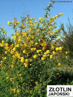 Złotlin japoński (Kerria japonica Pleniflora) - wieloletnie.pl
