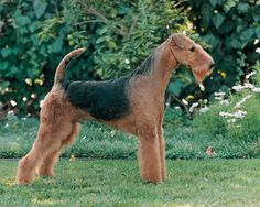 The Airedale Terrier is the largest of all the Terrier breeds. It inherits the playful demeanor and intelligence that define the Terrier family, but its size means that it will need a firm and experienced trainer. They love to hunt, willingly chasing any small animal that crosses their path. For this reason it is wise to keep them leashed or in a yard. They can be kept indoors effectively if exercised extensively and trained on a regular basis.