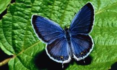Explore the world of Butterfly Symbolism, Butterfly Totem, Butterfly Meaning, Butterfly Dream, and Butterfly Messages. Karner Blue Butterfly, Big Butterfly, Butterfly Pictures, Butterfly Cookies, Butterfly Drawing, Most Beautiful Butterfly, Beautiful Birds, Simply Beautiful, Animal Wallpaper