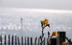 https://flic.kr/p/pzVnm9 | Flower By The Sea