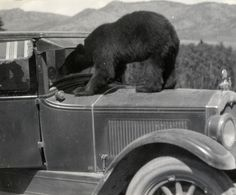 Black Bear Staring into Automobile: Ca. 1930 by Montana State University Library. Antique Photos, Vintage Photographs, Vintage Photos, Vintage Postcards, 1920s Car, 1930s, Spectacled Bear, Pictures Of America, Object Photography