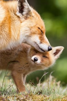 fox mom and baby ❤️ | #wildlife photo, via purple-ish boots on Tumblr