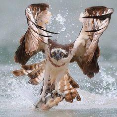 PsBattle: bird of prey hunting a fish Pretty Birds, Beautiful Birds, Animals Beautiful, Animals And Pets, Cute Animals, Tier Fotos, Birds Of Prey, Wild Birds, Bird Feathers