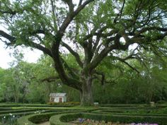 Live Oak in the Gardens of Rosedown Plantation