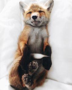 Silver Arctic fox for sale exotic pets Pinterest