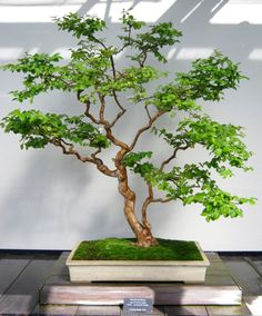 longwood gardens photos bonsai | Plants – Bonsai Trees | Minding My P's With Q
