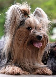 All Pictures, Cute Dogs, Terrier, Animals, Yorkies, Yorkshire, Lovers, Dogs, Animales