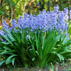 Scilla - These fall bulbs have bell-like, deep blue spring flowers that are commonly called Spanish bluebells or wood hyacinths. They flower early in the spring and are low-maintenance plants that will naturalize rapidly by bulb offshoots and self-seeding. Great for naturalizing your lawn! Spanish Bluebells, Mostly Sunny, Perennials, Blue Spring Flowers, Low Maintenance Plants, Spring Garden, Bulb, Trees, Gardens