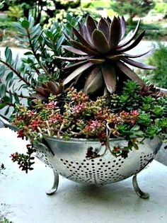 ❤~ Cactus~❤~Suculentas~❤ Sedums & Sempervirens - in a colander, talk about perfect drainage, just what succulents love! Succulent Gardening, Cacti And Succulents, Planting Succulents, Garden Pots, Planting Flowers, Succulent Ideas, Succulent Terrarium, Vegetable Gardening, Succulent Cuttings