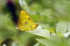 Photo about Yellow butterfly on green leaves. Green background, yellow butterfly, natural scenery. Elegant symbol butterfly. Sarı azamet kelebeği. Image of kelebeği, performance, makes - 117794553