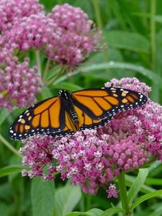Swamp Milkweed (Asclepias incarnata) - on which monarch lays their eggs. Blossoms smell like jasmine! Butterfly Weed, Butterfly Plants, Monarch Butterfly, Beautiful Butterflies, Beautiful Flowers, Swamp Milkweed, Milkweed Plant, Rain Garden, Native Plants