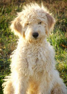 Goldendoodles...I will have one one day! Ahhh!!