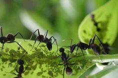 Livrar a horta de formigas #horta #pragas #formigas